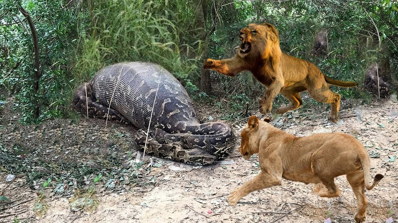 Download Lions vs Big Python Snake Real Fight | Lions attack Crocodile Lion cheetah - Wild Animal Attacks