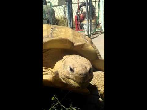Rare African Tortoise lawnmower sex footage thumbnail
