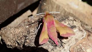 1st Elephant Hawk moth in Moth trap
