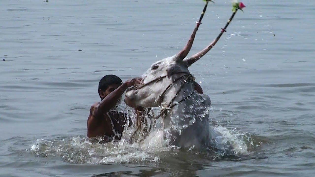 Hallikar cows from Ravani swimming in river