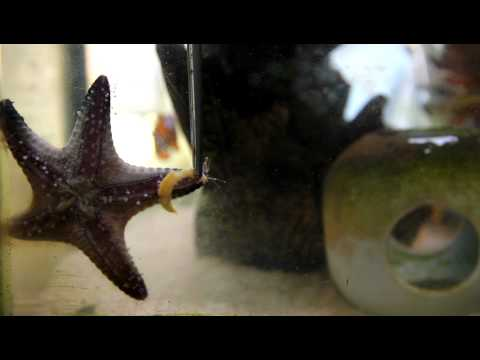 Starfish Eating Dry Shrimp