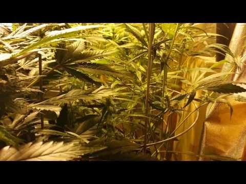 How to grow cannabis in coco. Week 5 Bloom feeding