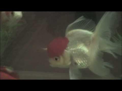 Large Red Cap Oranda Goldfish