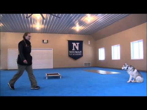 King (Siberian Husky) Trained Dog Video - Boot Camp for dogs