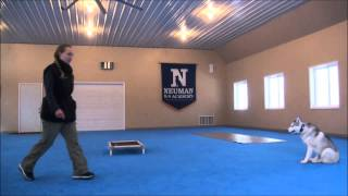 King (Siberian Husky) Trained Dog Video  Boot Camp for dogs