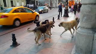 Happiest pack of playing Street Dogs Istanbul Turkey