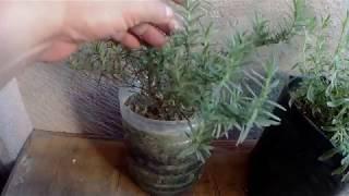 Baixar Rosemary Plant in Container - Paano Kilalanin, Alagaan at Paramihin.