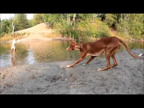 PODENCO IBICENCO - Ibizan hounds playing in the forest