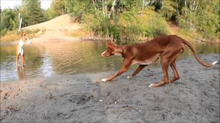 PODENCO IBICENCO  Ibizan hounds playing in the forest