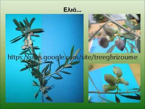Τρόπος καρποφορίας ελιάς (oleaceae, olea europaea, olive tree)