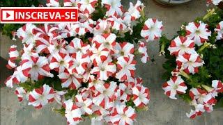 Explosão de Flores com Adubo de Cinza