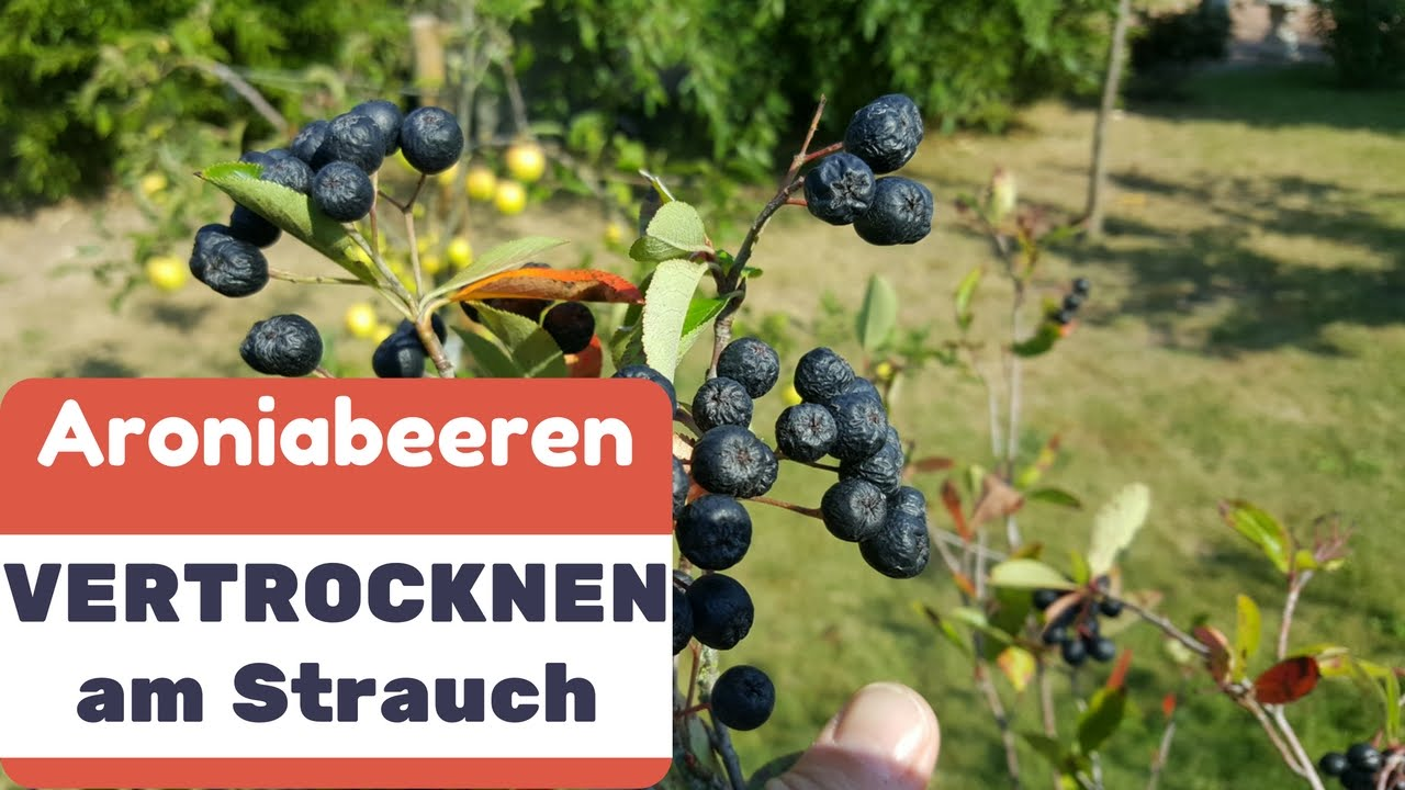 aroniabeeren vertrocknen am strauch das m ssen sie jetzt tun youtube. Black Bedroom Furniture Sets. Home Design Ideas