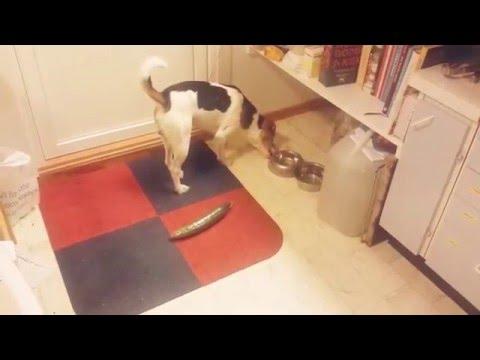 Dog vs cucumber - reaction.