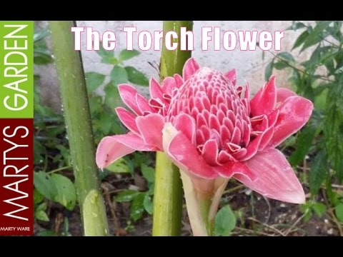 The Beautiful Torch Flower Used in Traditional Asian Cooking