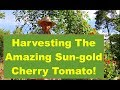Let's Go Harvest The Amazing Sun-gold Cherry Tomatoes!