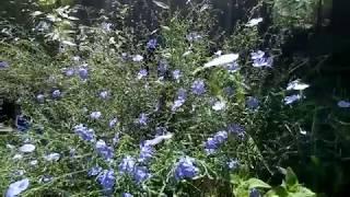 Голубой лен—цветок для хорошего настроения.