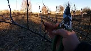 видео Весенняя прививка плодовых деревьев