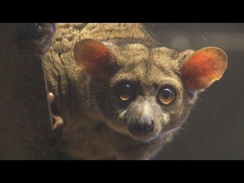A rare example of a small-eared bush baby, bred at Ostrava Zoo