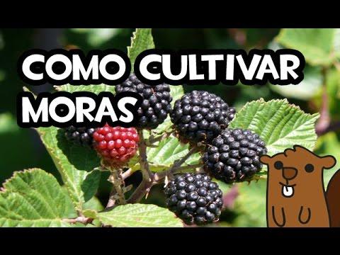 como cultivar moras | huerto organico - youtube
