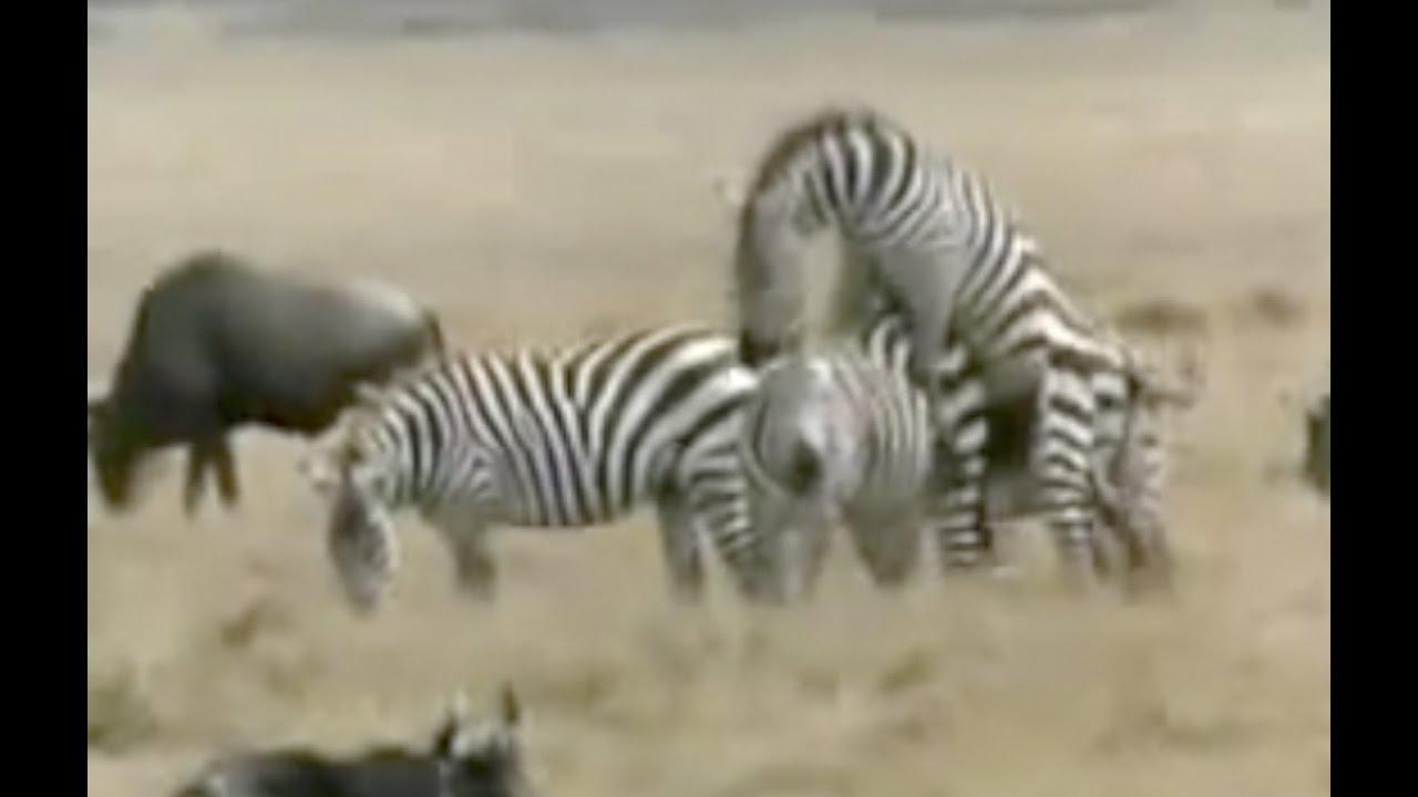 Animales apare ndose apareamiento animal alucinante youtube - Imagenes de animales apareandose ...