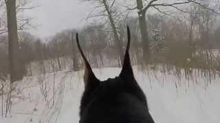 Doberman Enjoying A Winter Run