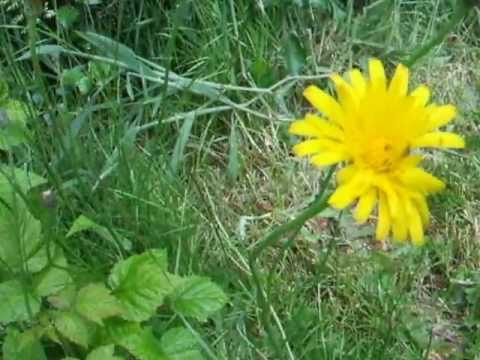 Wild edibles how to eat and identify cats ear flatweed false wild edibles how to eat and identify cats ear flatweed false dandelion mightylinksfo