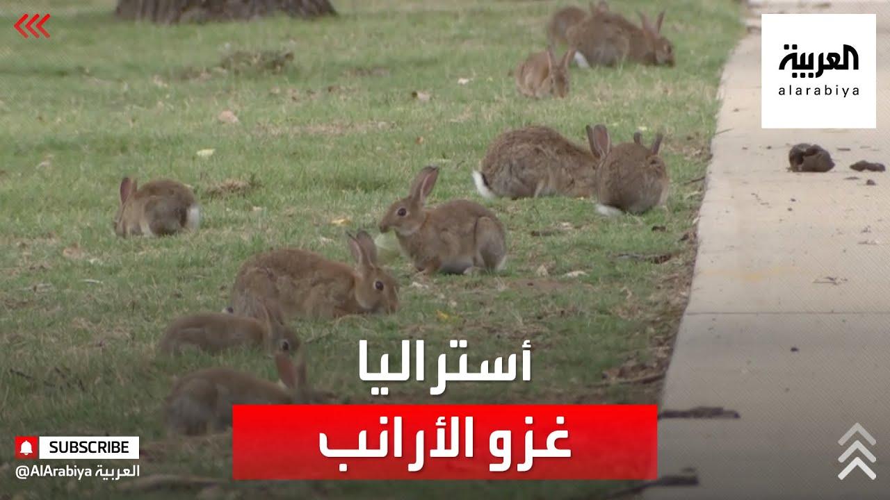 أستراليا تشكو غزو الأرانب.. وخسائر فادحة  - نشر قبل 2 ساعة
