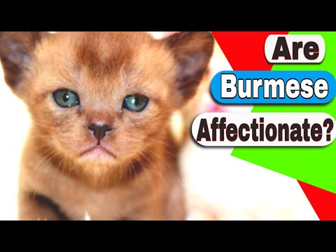 Are Burmese cats affectionate? How much is a Burmese kitten?