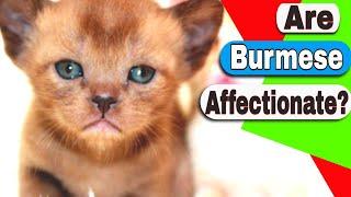 Are Burmese cats affectionate? How much is a Burmese kitten?