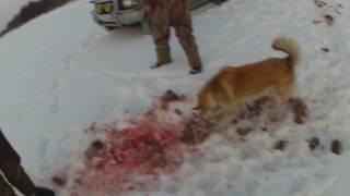 Расправа серых над косулей!Волки полностью съели козу!