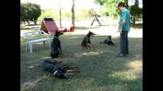 Florida Dog Academy - Doberman Training Session At The Kennel (03)