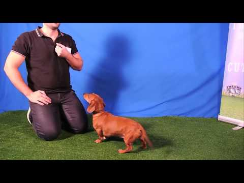 Cute little wiener dog Dexter auditioned with his friend for Talent Hounds