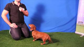 Cute little wiener dog Dexter auditions for Talent Hounds