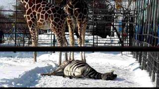 おびひろ動物園のシマウマ、シャンティ-がほんの少し横になって寝てい...