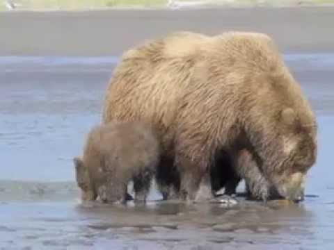 Bear Viewing with Regal Air - Silver Salmon Creek/Lake Clark NP