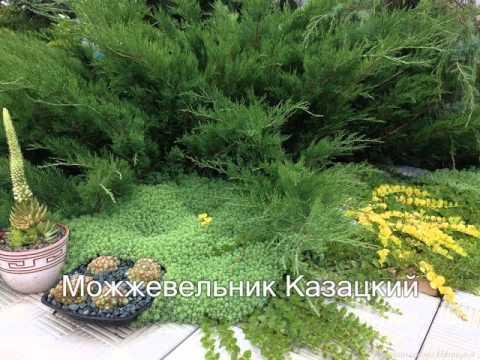 Хвойный сад лес в саду или сад в лесу?