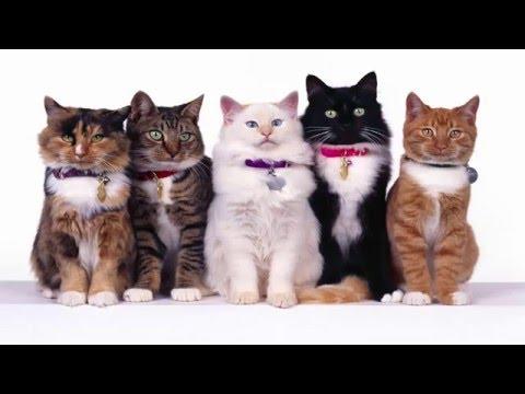 Las 10 Mejores Razas de Gatos del mundo