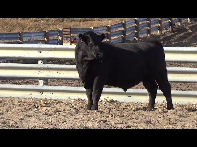 Connealy Angus Lot 222