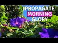 HOW TO PROPAGATE MORNING GLORY: Using a Fast and Simple Technique | BirdofParadise