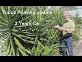 Yucca Pruning - 3 years on