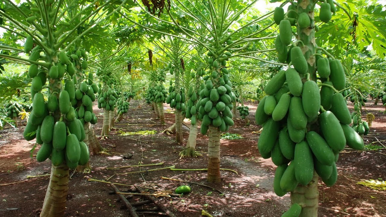 Resultado de imagen de cultivo de papaya
