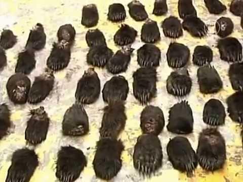 За ввоз медвежьих лап в Китае арестованы русские (новости)