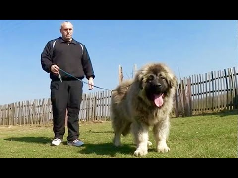 Jozo Dogs -  GRIZLI 2 ( 5 months old ) Caucasian Shepherd .Sohn from DONYA & KODIJAK