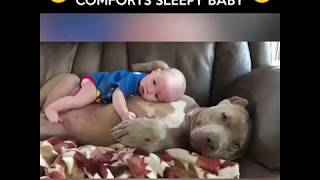 Lovely pitbull taking care of a cute baby