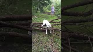 Dog Fails to Jump Over a Fallen Tree Branch - 1023894