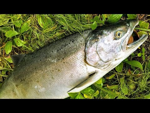 How to catch clean and cook salmon - salmon bait, rigs,  tips and techniques