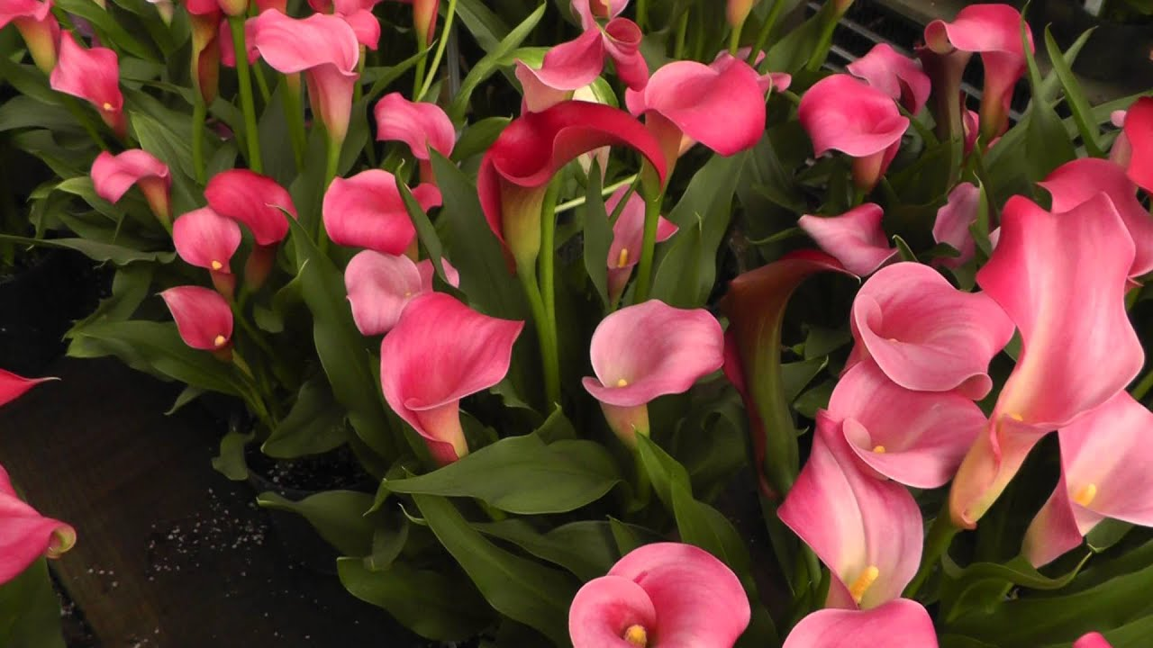 Lipstick Color Is Red Calla Lily Neon Amour Pink Calla Lilies Youtube