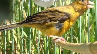 علاج الطائر من التشحيم