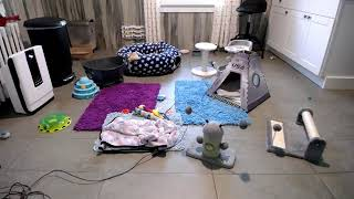 Kitkat Playroom LIVE: Juno's Moons  Adoptable rescue kittens and momcat