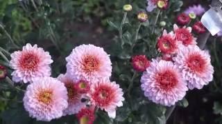 Хризантема в моём саду.Как  размножить,ухаживать и вырастить хризантему.(Хризантема в саду.Как размножать,укоренять и ухаживать за хризантемой.Об этом можно узнать посмотрев мои..., 2016-09-11T12:32:53.000Z)
